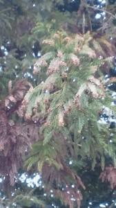 杉花粉の飛散も間近