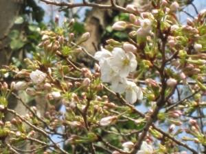 境内森の奥の桜が開花