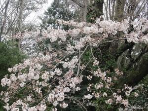 一番早く咲いた桜も3分咲き程度