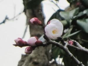 遅咲きですが、社務所前の梅の蕾(つぼみ)が一輪、綻ぶ寸前です。