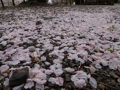 桜の絨毯 (じゅうたん)