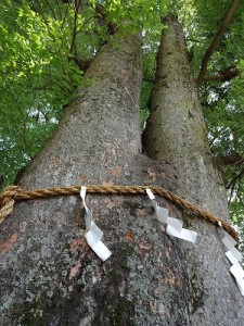 欅のご神木