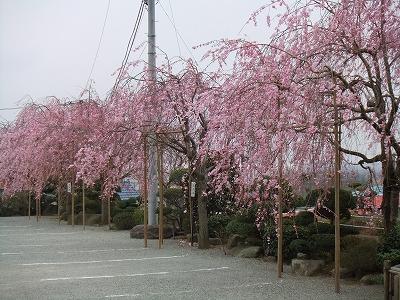 駐車場の枝垂れ桜 8分咲き