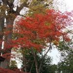 紅葉の後方、欅(けやき)の葉っぱももう少し