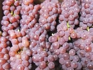 初物の葡萄