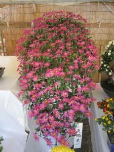 懸崖(けんがい)の菊