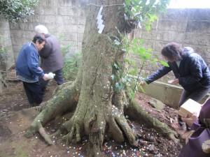 シバの古木(樹齢約250年)