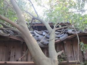枝が折れて神楽殿の屋根を損壊