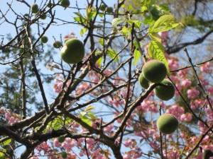 梅の実と満開の牡丹桜