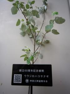 ウラジロハコヤナギの苗木