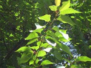 桜の葉は毛虫の好物