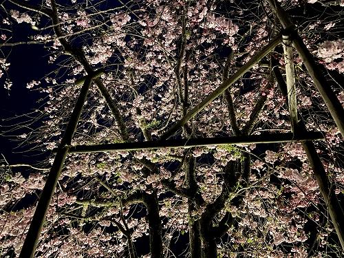 提灯に照らされた垂れ桜