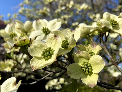 花水木(はなみずき)