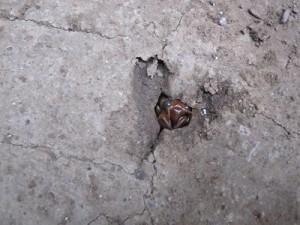 夕方、土の中から出番をうかがう蝉の幼虫