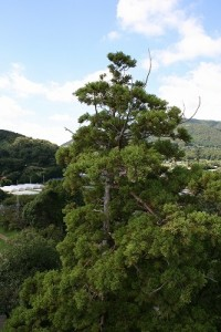 杉の御神木