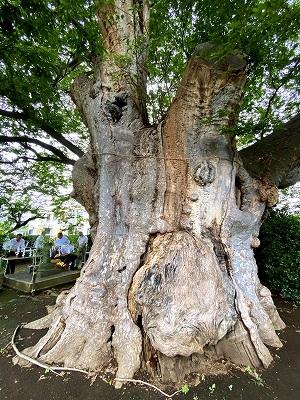 地神社(鶴巻の大欅)