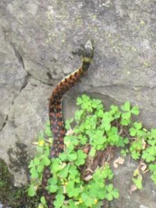 赤楝蛇(やまかがし)