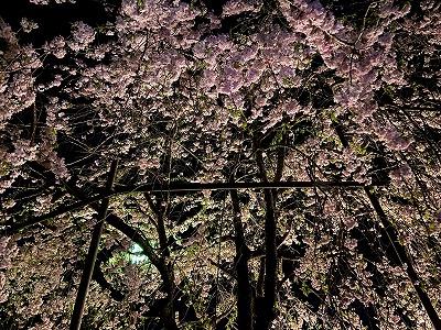 垂れ桜(3日)