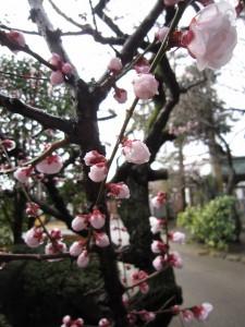 遅咲きの梅も見頃