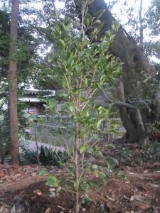 植樹した榊