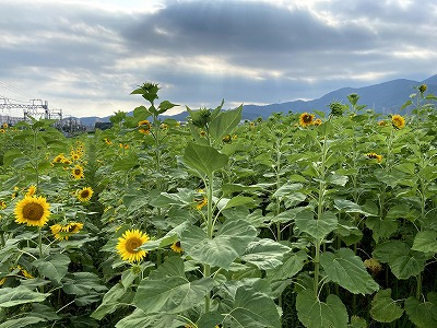 串橋地区の向日葵