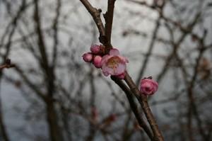 ほころび始めた四季桜