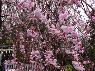 見頃に向かう垂れ桜 駐車場