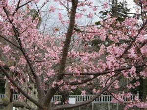 河津桜も見頃