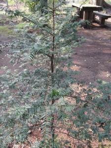 11年前に植樹した櫟(165㎝)