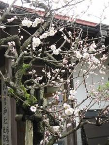 八分咲きで見頃を迎えた梅